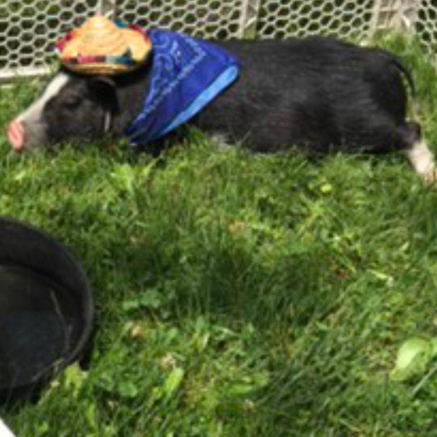 pig in petting zoo