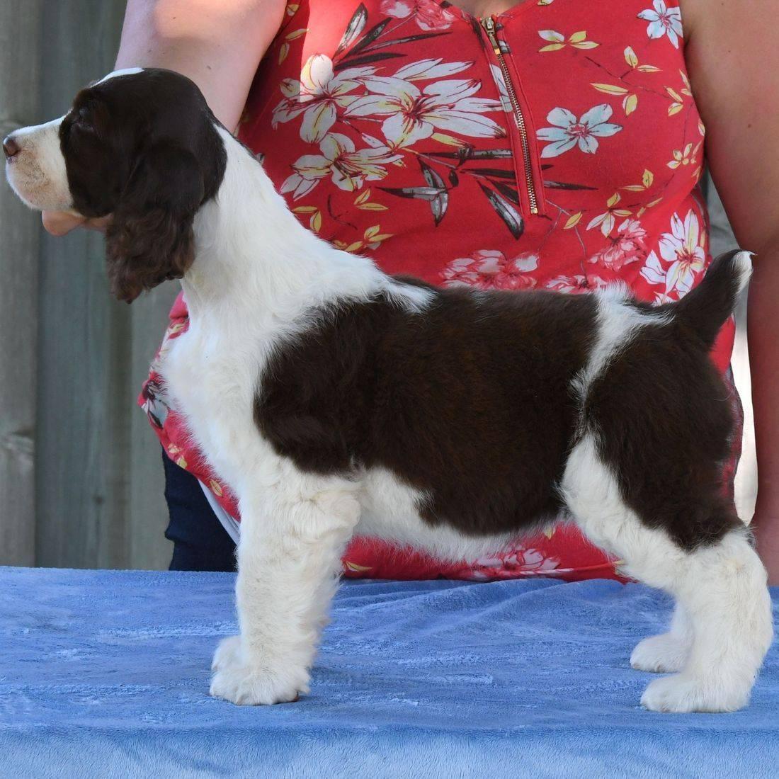 English Springer Spaniel Ontario breeder Trojh Krystal Hjort