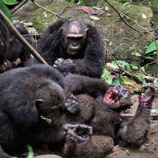 chimpanzee war, chimp fighting