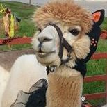 Alpaca in a costume