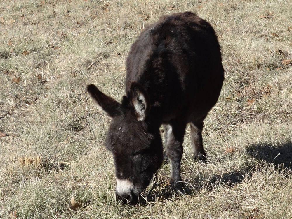 "MornStar Erin DOB March 13, 2003 33"" Black Sire: Ozark Jocko Bandito (dark brown) Dam: MornStar Nova Electra (dark brown)"