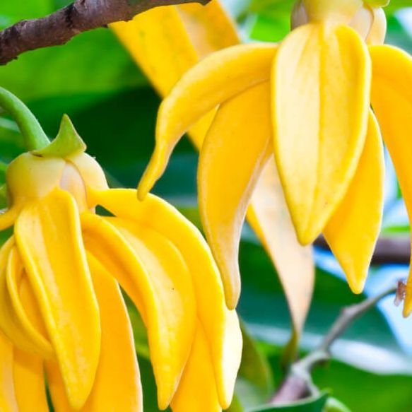Ylang Ylang, Essential oils, Fort Saskatchewan