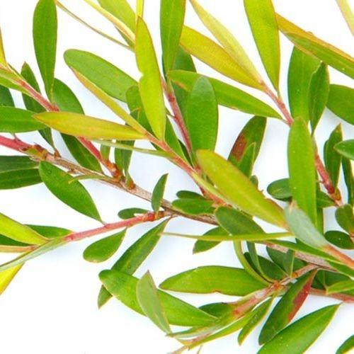 Tea Tree, Essential oils, Fort Saskatchewan