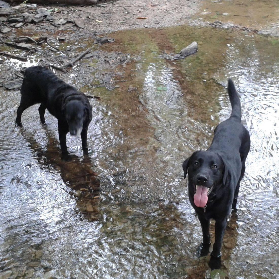 Black labradors in the stream
