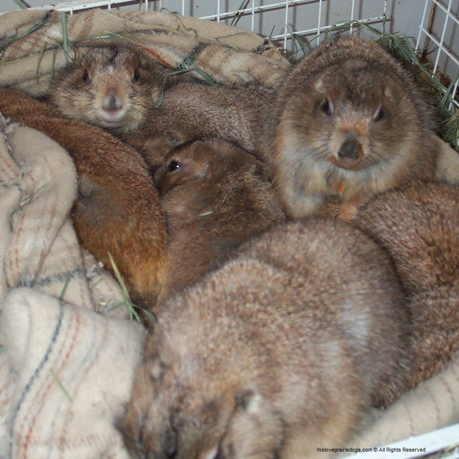 prairie dog rescue sanctuary hospice captive nutrition caging habitat