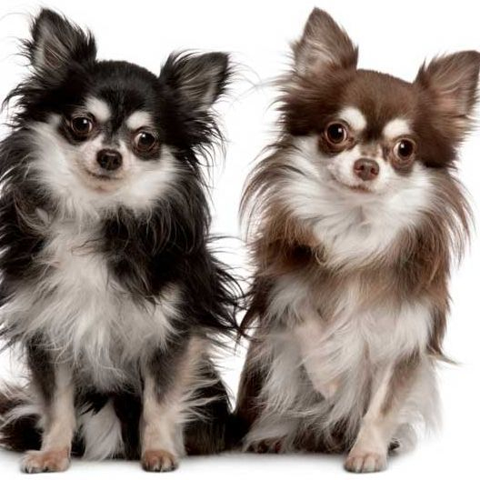 Long Haired Chihuahua Picture 8