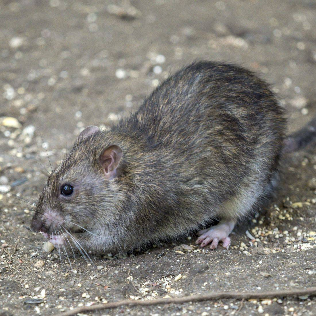 Rates and mice are common pests, let PestAway provide a solution. Cover Greenock, Port Glasgow, Gourock, Largs. Bishopton