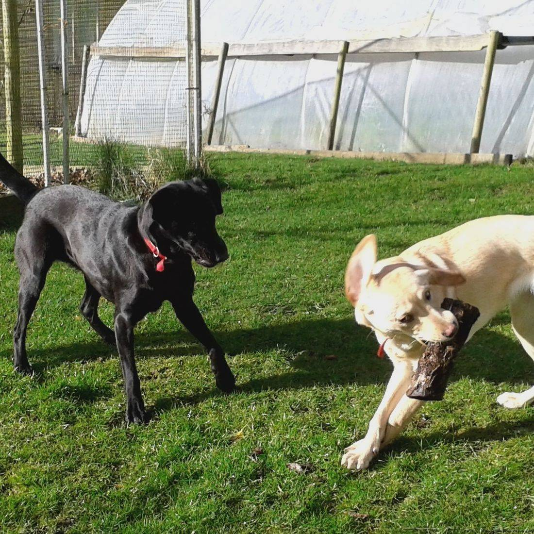 Black and Golden Labradors playing