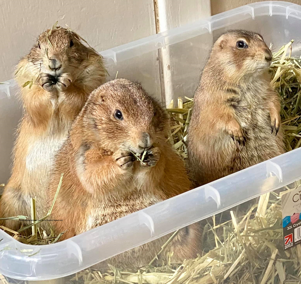 prairie dog captive nutrition pet exotic diet hay weight