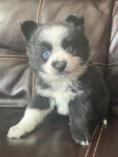 Female blue eyed pomsky