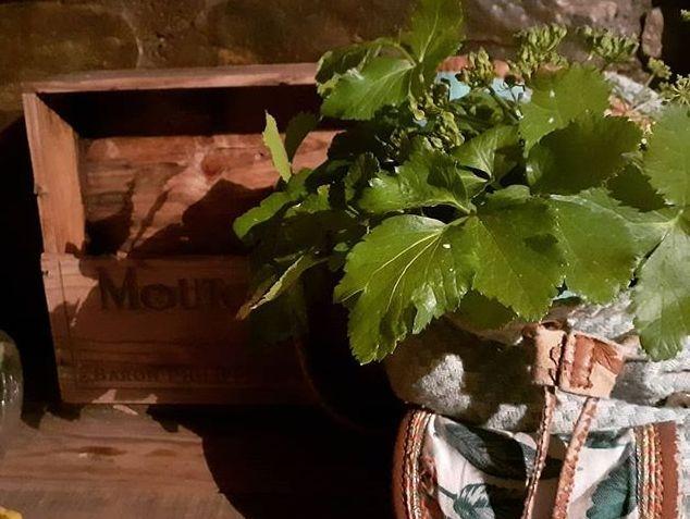 Alexanders herb in rucksack