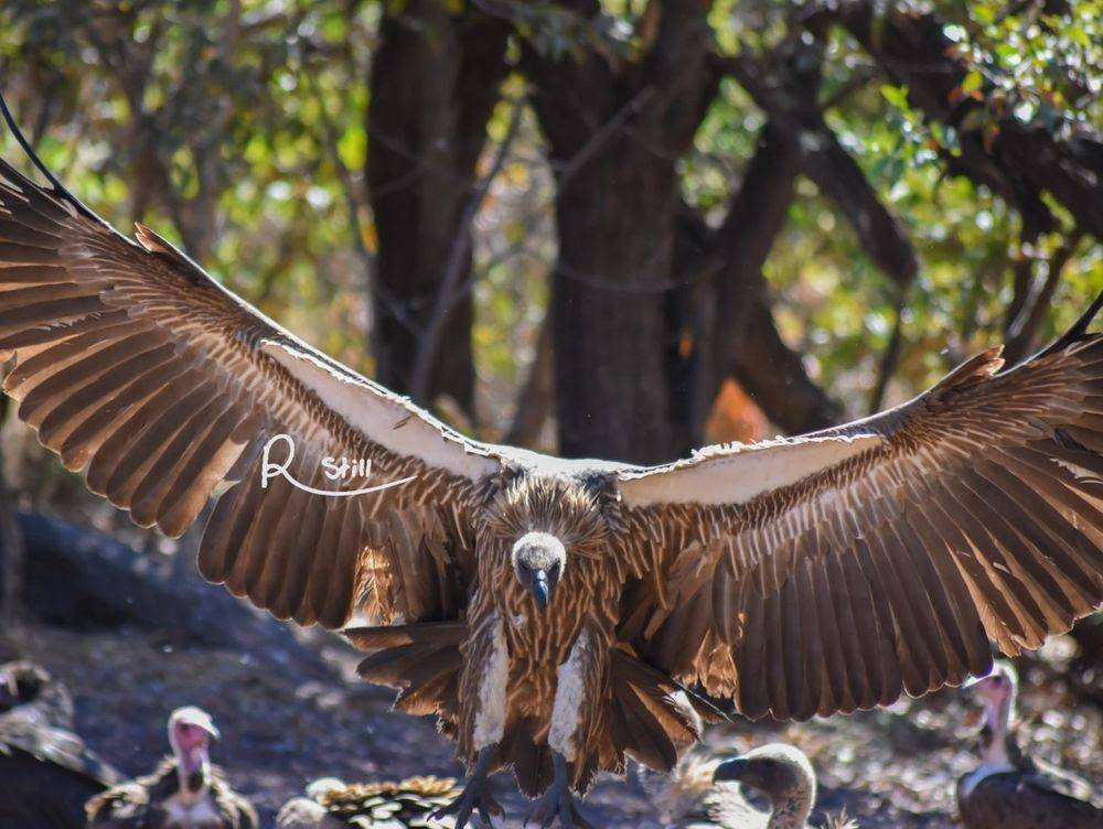 white backed vulture, vulture, birds of prey, raptor