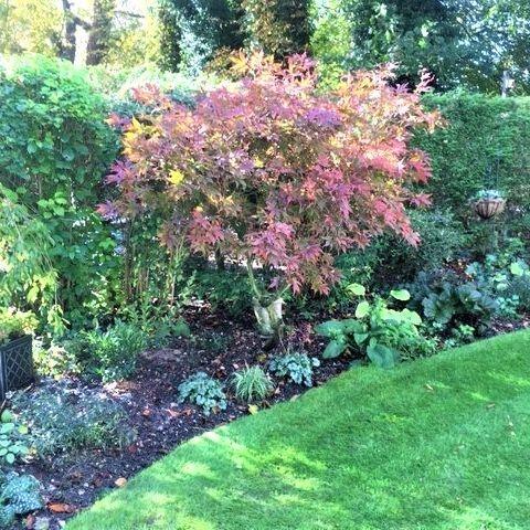 Country garden Autumn colour acer hosta