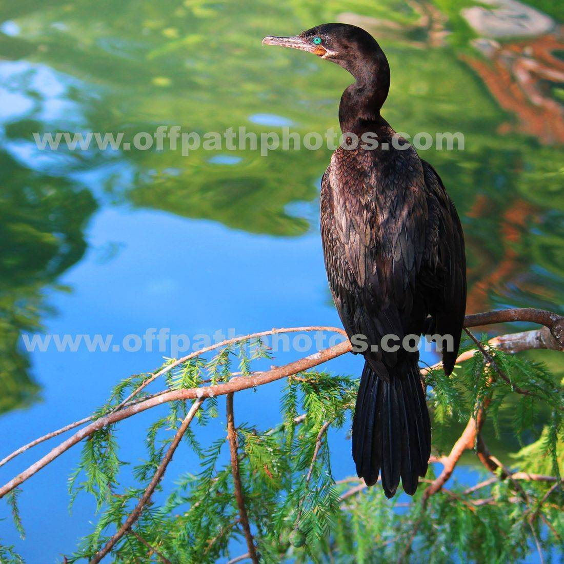 photography, water, birds, loons, rivers, nature, wetlands, swimming, flying