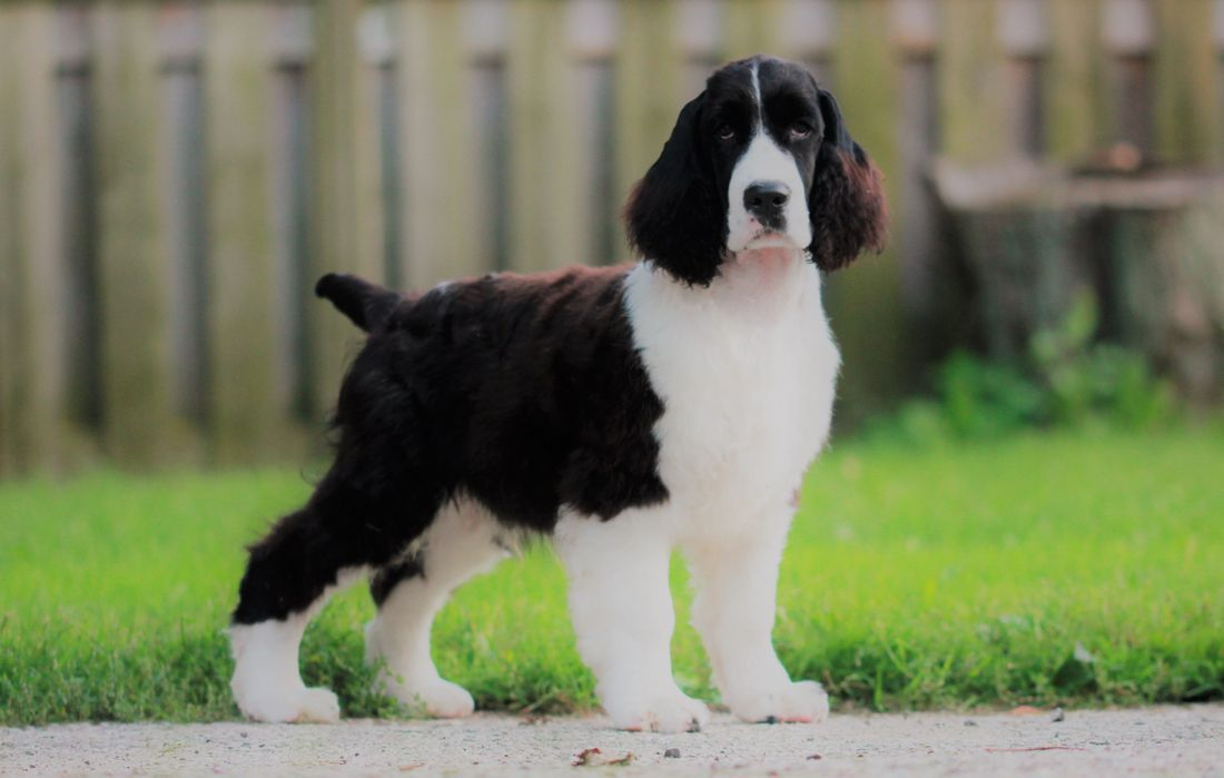ontario english springer spaniel breeder puppies trojh