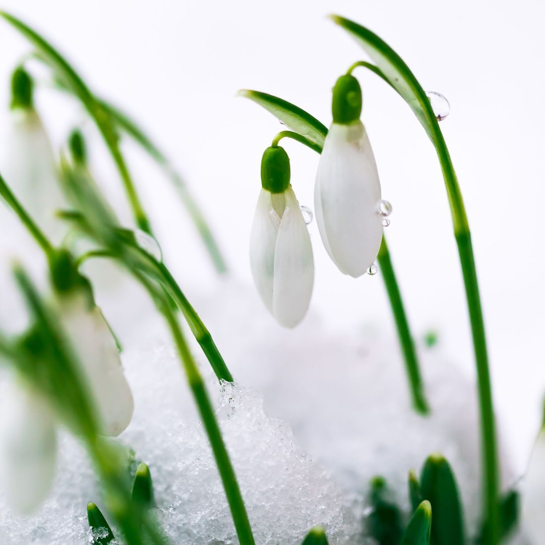 January flower, snowdrop flower, earliest flower to bloom after winter, what does a snowdrop flower represent, flowers of hope, flowers that represent hope, flowers that represent new horizons, early spring flowers, winter flowers