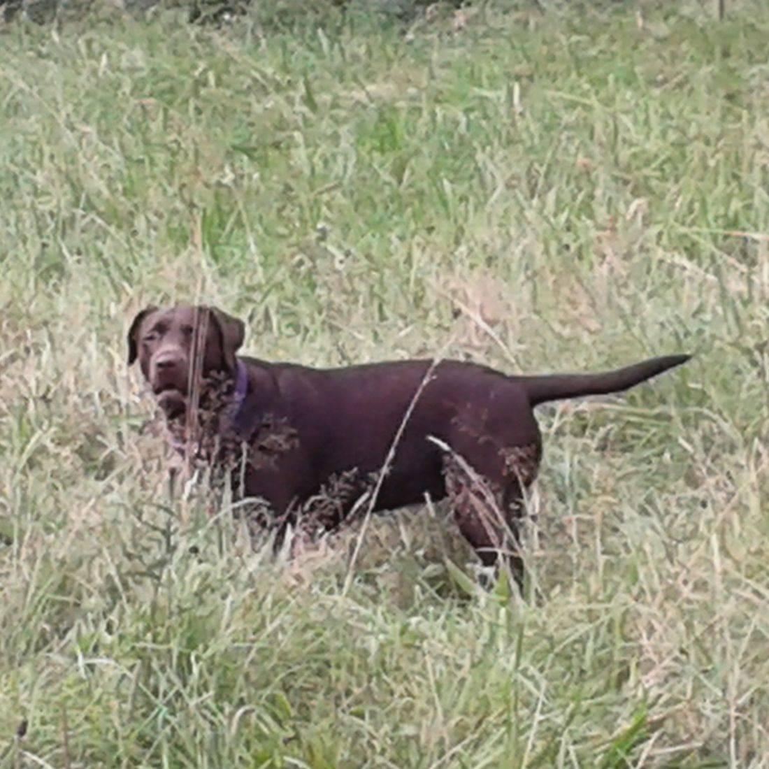 Chocolate labrador in field