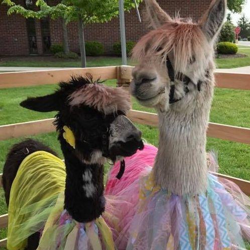 Alpacas wearing bright costumes