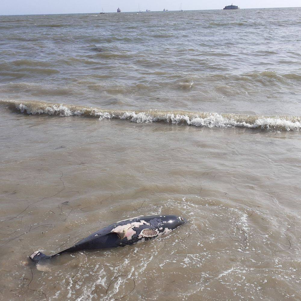 DEAD DOLPHINS SUPERTRAWLERS MCZ