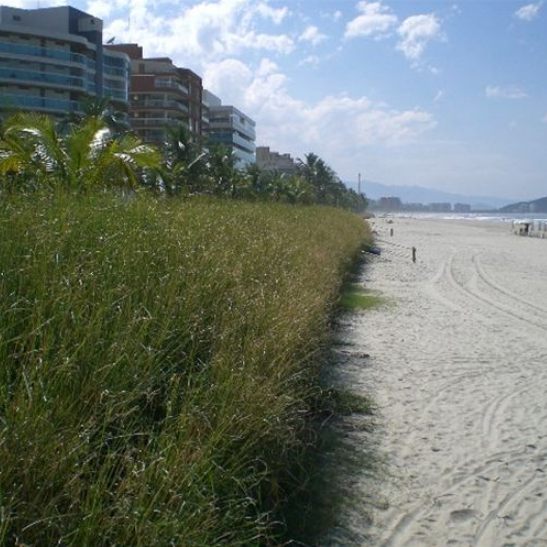 Vetiver Beach Erosion Solution
