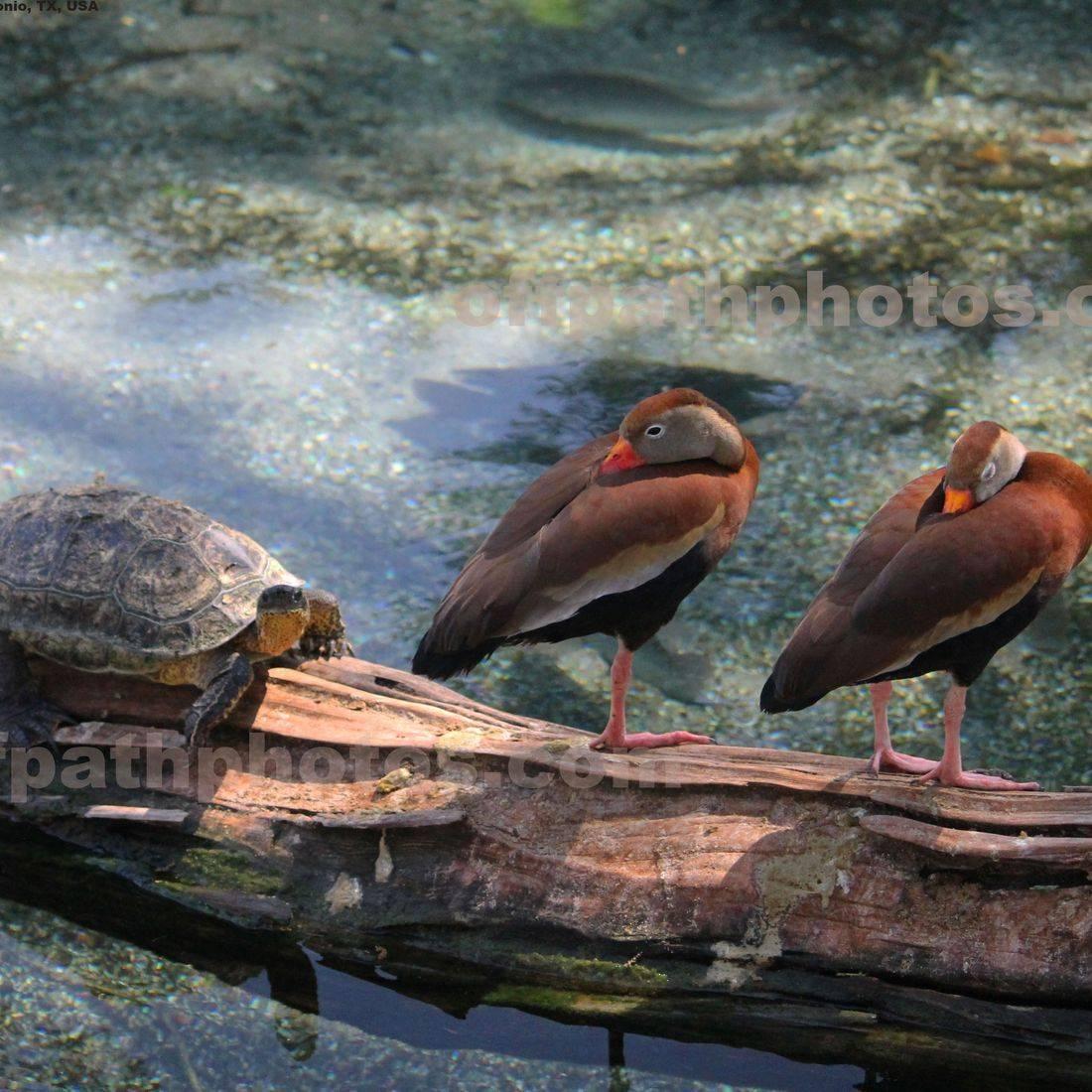 photography, water, animals, ducks, turtle, nature,pond, fish, zoo, log
