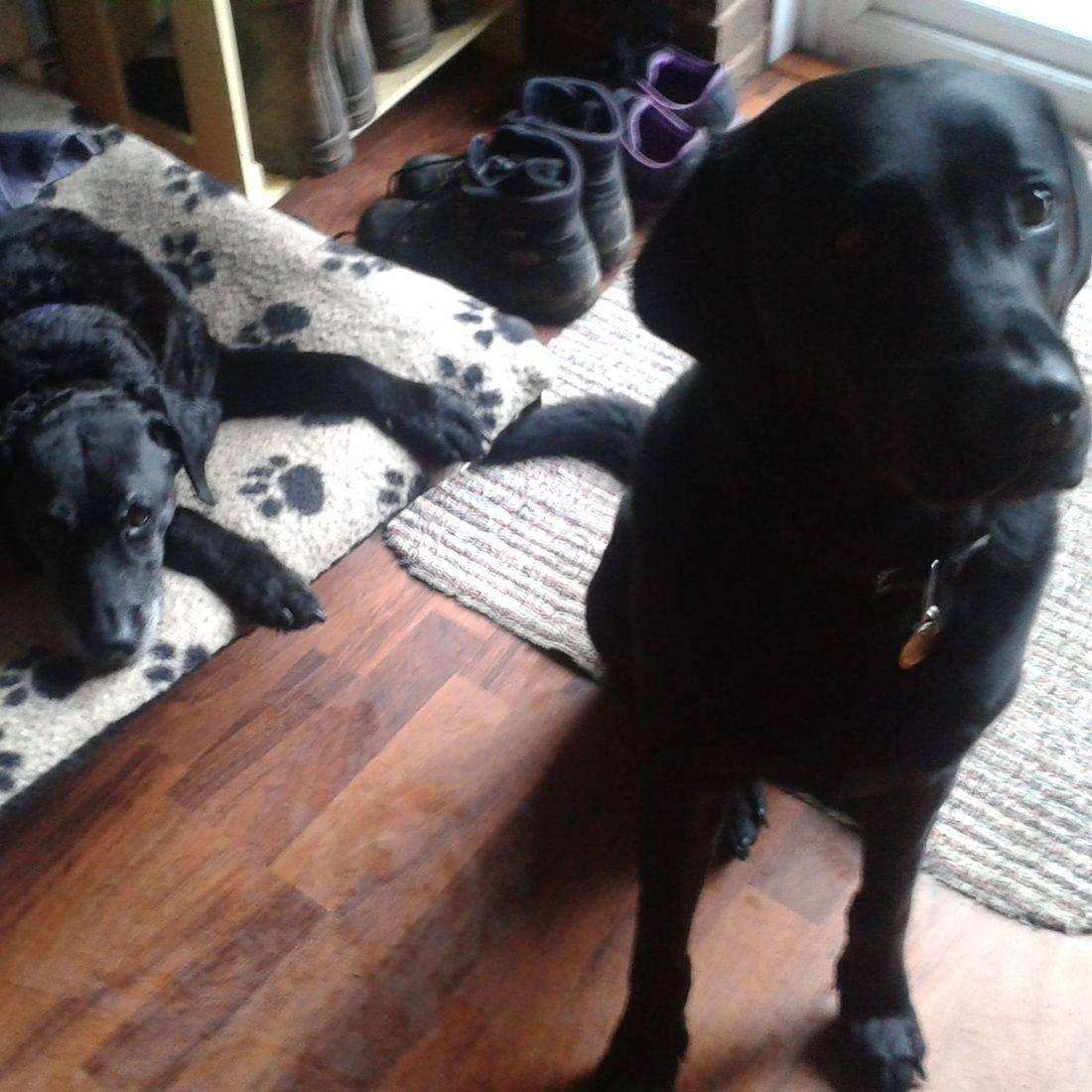 Black labradors waiting for a walk