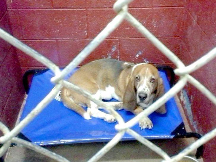 basset hound on shelter bed