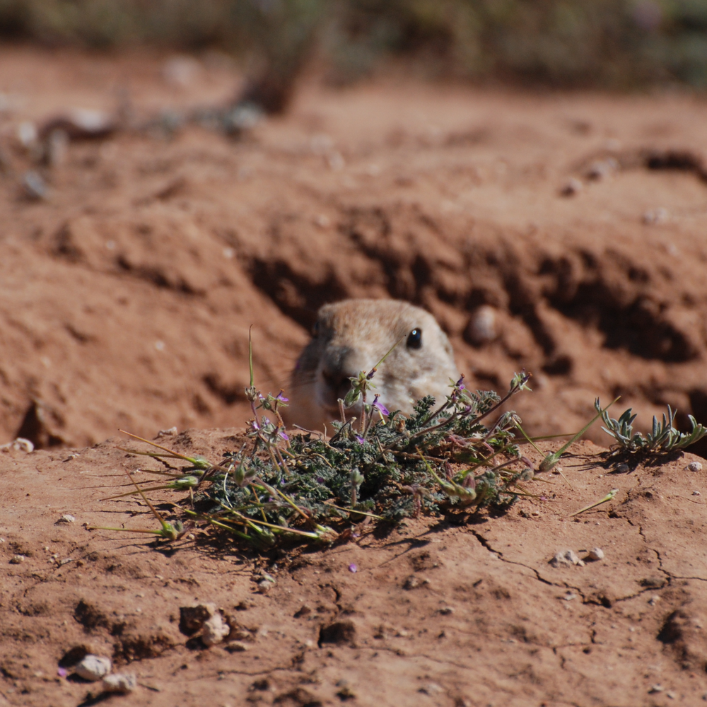 wild prairie dog relocation charity non-profit conservation protection restoration