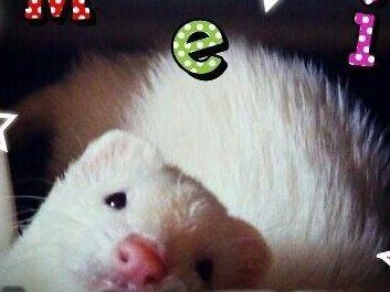 小動物:フェレットのめいちゃんです。