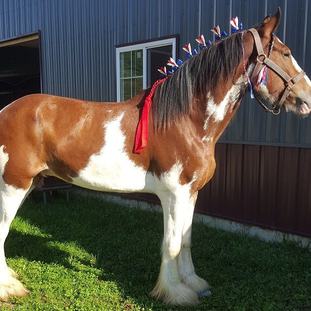 Clydesdale rides , chamberlin pony rides,