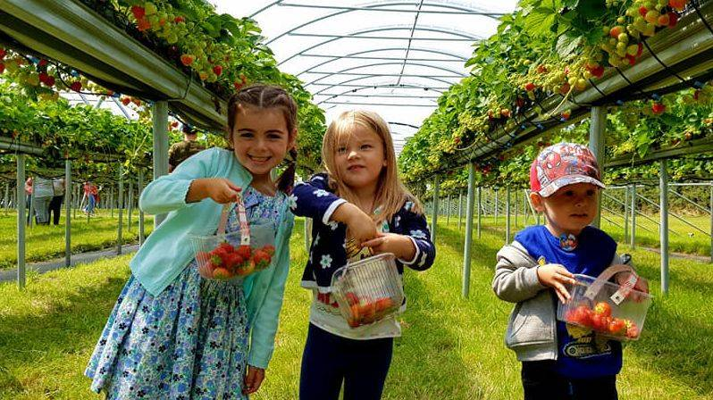 Strawberry picking at Gower Pick Your Own- Swiss Valley Childminding Llanelli