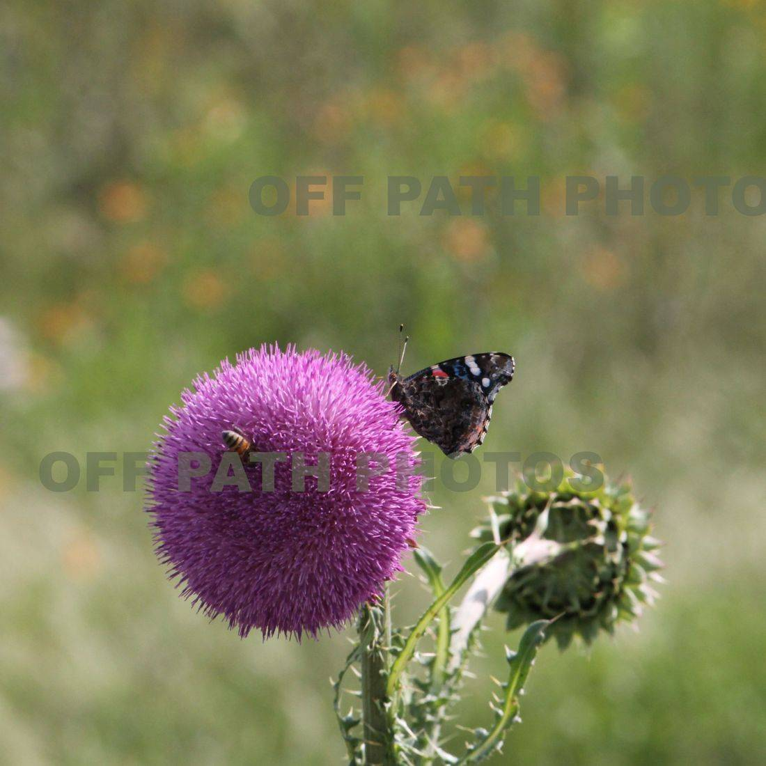 photography, flower, butterfly, bee, nature, summer, pollinate, relax, thistle, plants