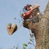 Tree removal in Liskeard, Cornwall