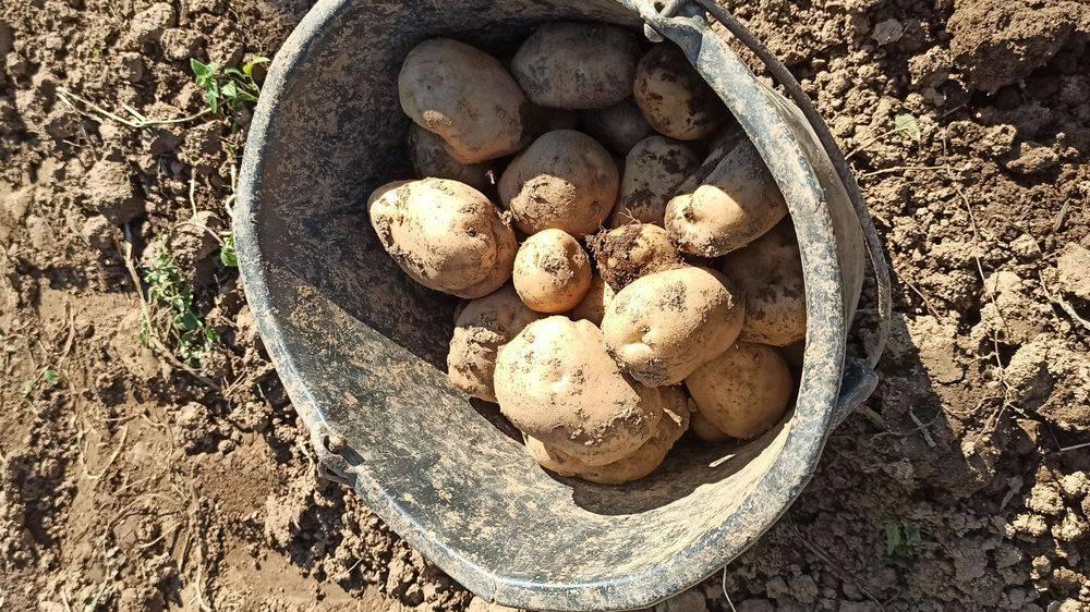 Eko krumpir iz Like, organski uzgoj krumpira