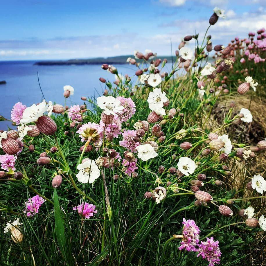 coastal flowers on a cliff edge