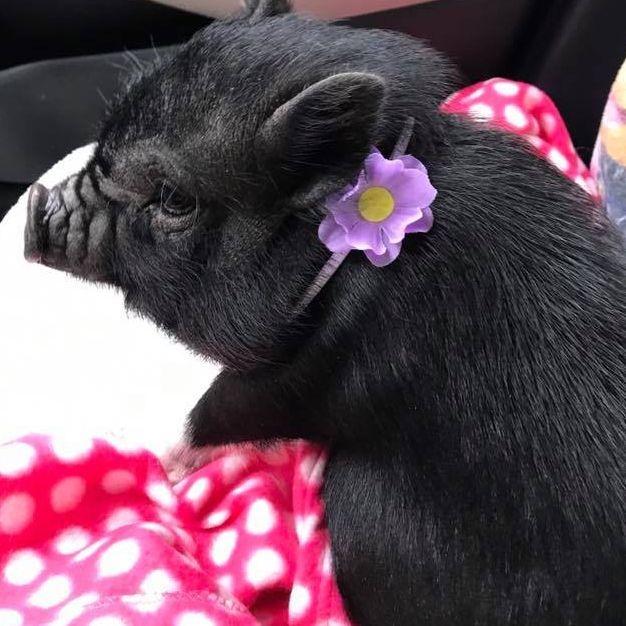 baby black pig wearing purple flower