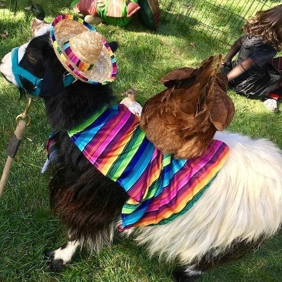Goat dressed for Halloween