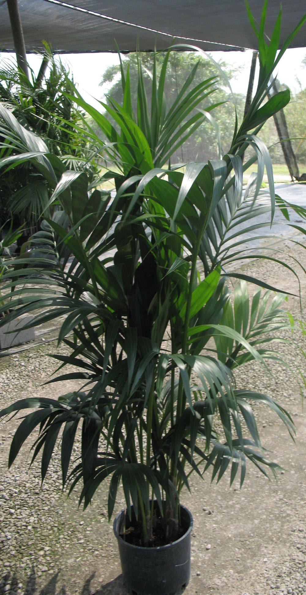 Howea forsteriana , Hawaiian Shade grown 7gallon 4 ppp. 6'-7' OA