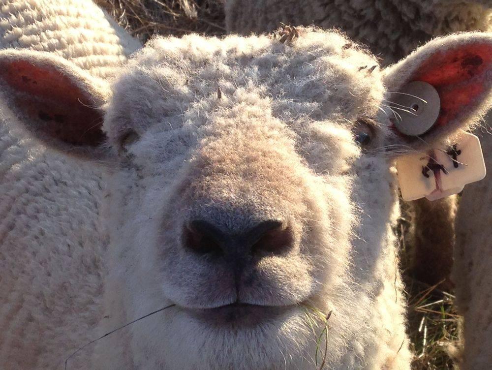A very cheeky Babydoll Southdown ewe lamb