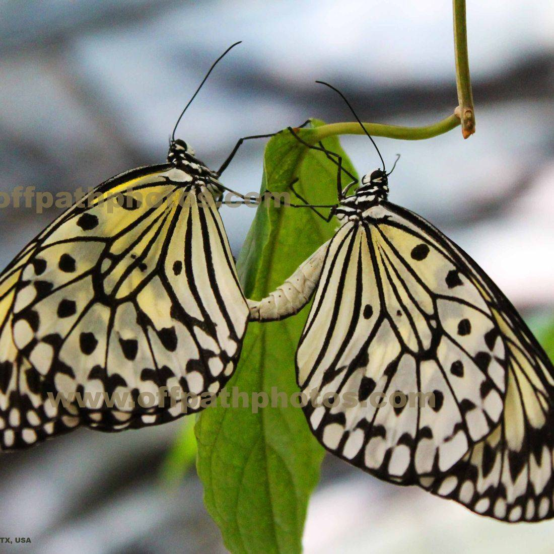photography, nature, animals, butterflies, mating, zoo, summer, insects that fly,
