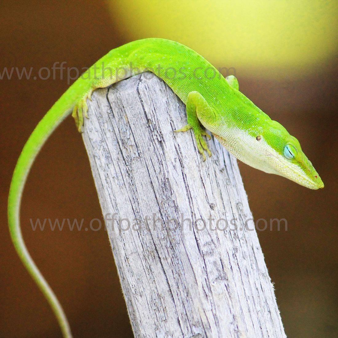 photography, nature, animals, reptiles, green anole lizards, sleeping, gardens