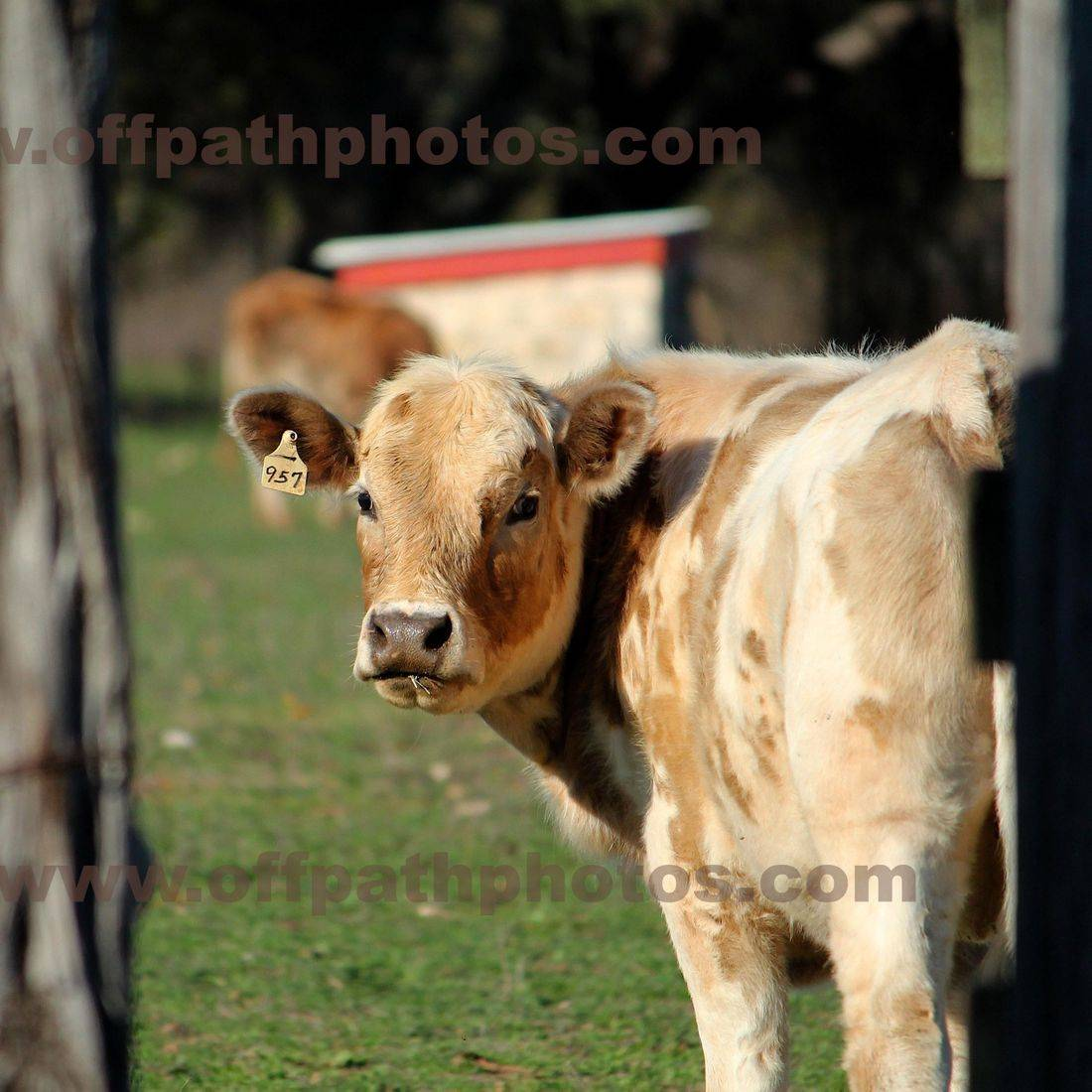 photography, animals, farm, country, cows, pasture, calf, bad day