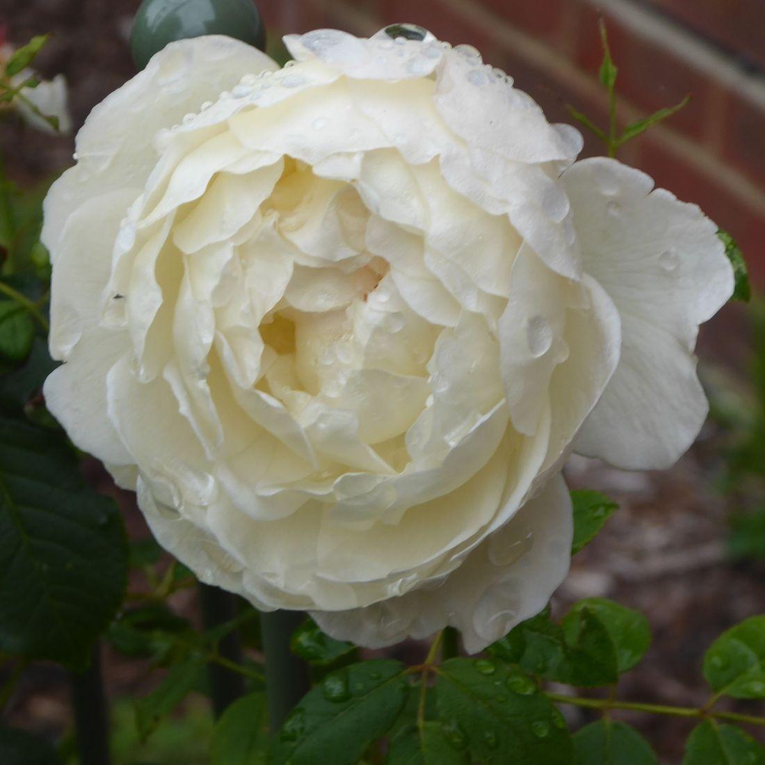 Spring flower Hampshire Gardens Susan Bonnett Garden Advisor gardening