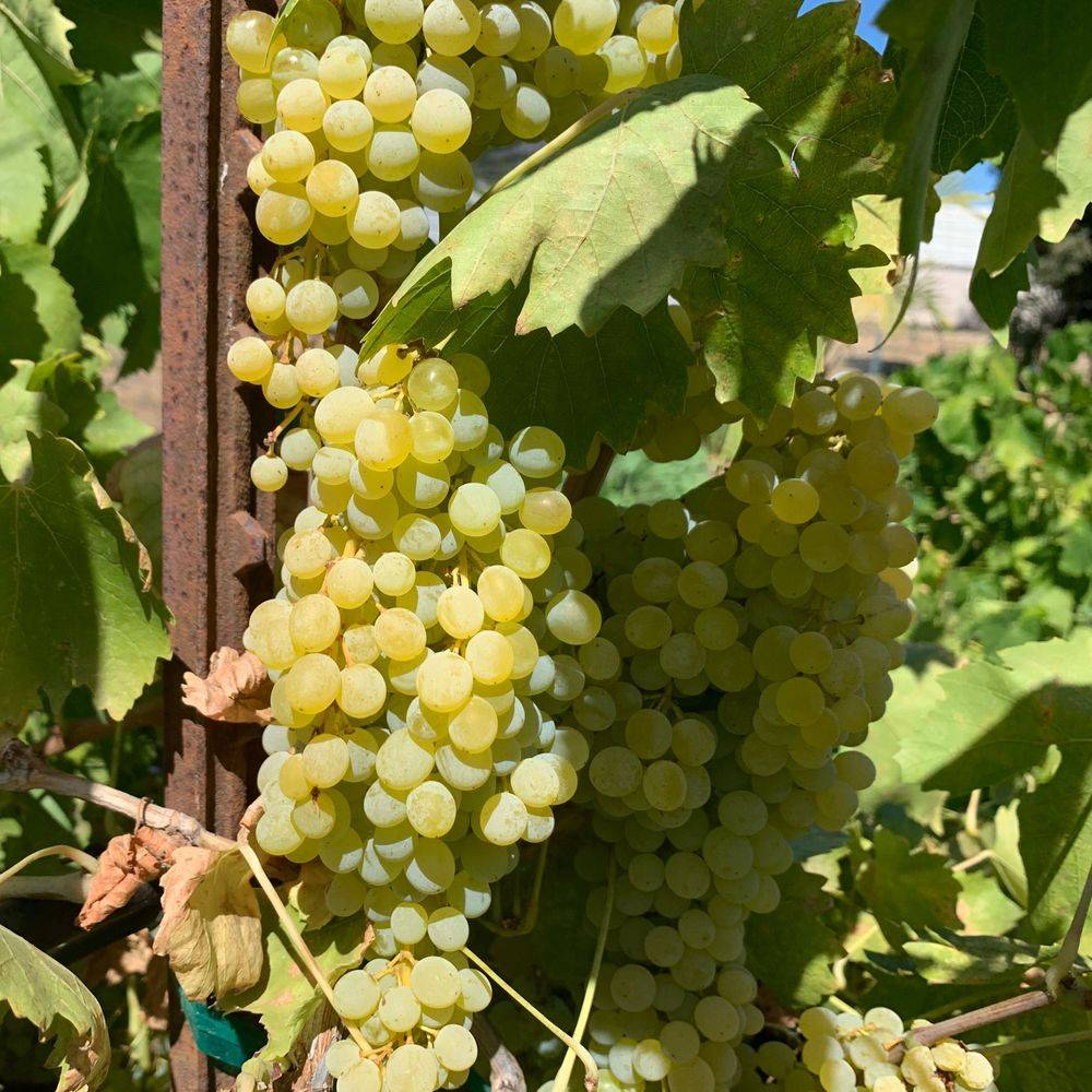 White grapes growing on the vine.
