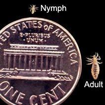 lice picture