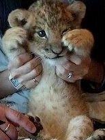 アフリカンサファリで産まれた赤ちゃんライオンです☆