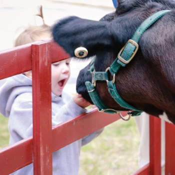 Little boy surprised and amazed by cow touching his hand