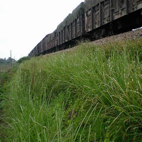 Vetiver System Railroad Stabilization