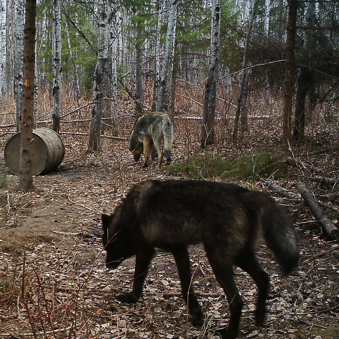Manitoba,Wolf hunting, bear hunting,  Manitoba black bear