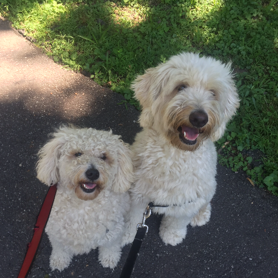 Photo of two smiling white dogs on leashes